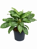 Aglaonema green light Toef 70 cm