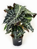 Alocasia polly Bush 65 cm