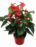 Anthurium and. dark red Donkerrood 60 cm