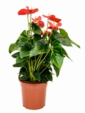 Anthurium and. sierra Rood 55 cm