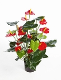 Anthurium de luxe Red with pot