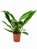 Anthurium jungle king Bush 100 cm