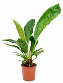 Anthurium jungle king Bush 70 cm
