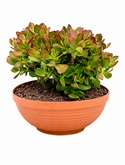 Crassula sunset colorata Bush 35 cm