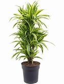 Dracaena lemon lime Vertakt-multi 110 cm