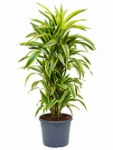 Dracaena lemon lime Vertakt-multi 120 cm