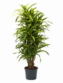 Dracaena lemon lime Vertakt-multi 140 cm