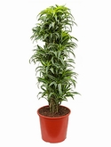 Dracaena surprise Vertakt-multi 140 cm