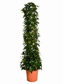 Hedera montgommery Zuil 150 cm