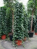 Hedera montgommery Zuil 250 cm