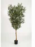 Natural olive Tree