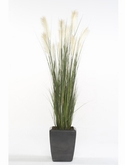 Pampas grass In plastic pot