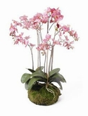 Phalaenopsis Dark pink soiled with moss