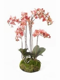 Phalaenopsis Old pink soiled with moss