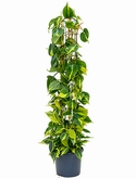 Philodendron grand brasil Draadzuil 130 cm