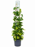 Philodendron grand brasil Draadzuil 150 cm
