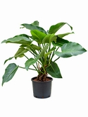 Philodendron green beauty Multi stam 100 cm