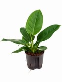 Philodendron imperial green -