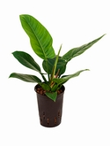 Philodendron imperial green - 40 cm