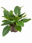 Philodendron imperial green - 50 cm
