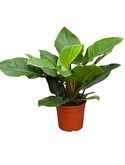 Philodendron imperial green - 60 cm