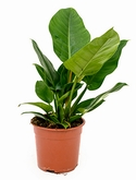 Philodendron imperial green - 65 cm
