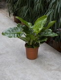 Philodendron imperial green - 70 cm