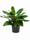 Philodendron imperial green Bush 90 cm