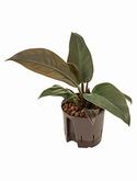 Philodendron imperial red -
