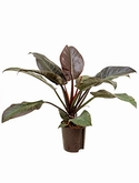 Philodendron imperial red - 40 cm