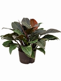 Philodendron imperial red - 45 cm
