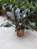 Philodendron imperial red - 70 cm