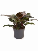 Philodendron imperial red Bush 80 cm