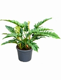 Philodendron narrow Bush 70 cm