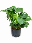 Philodendron pertusem (monstera) 2pp 60 cm