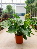 Philodendron pertusem (monstera) Bush 90 cm