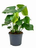 Philodendron pertusem (monstera) Toef 60 cm