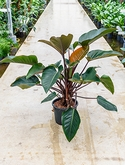 Philodendron red beauty Multi stam 100 cm