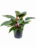 Philodendron red congo Bush 65 cm