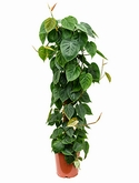 Philodendron scandens Mosstok 120 120 cm