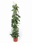 Philodendron scandens Pyramide 150 cm