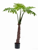 Philodendron Trunk Tree in plastic pot 16