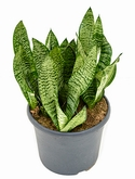 Sansevieria green flame Toef 40 cm