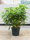 Schefflera gold capella Bush 110 cm