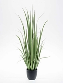 Yucca grass In plastic pot 18